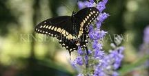 Butterfy, Pollinator, Native Bee Plants / plants for a pollinator and butterfly garden plan