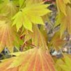 Trees - Japanese Maple / Japanese Maples - laceleaf dwarf, weeping and upright. Acer palmatum, dissectum