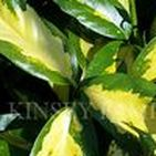 Privacy Hedge Plants / Privacy Hedge Plants