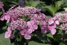 Shrubs - Hydrangea / Hydrangea bushes