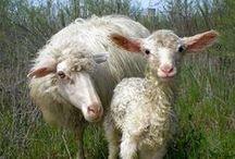 Béhhhhhh! / Sheep