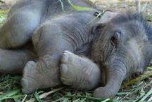 Jumbo / All things elephants...