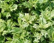 Shrubs - Evergreen Shrubs / Evergreen Shrubs