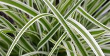 Ornamental Grass / Ornamental Landscape Grasses