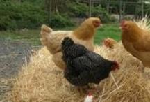 Farm ~ Chicken Coop/Quail / by Lisa Contreras
