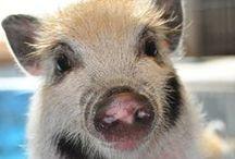 Animals - Pigs / by Britta