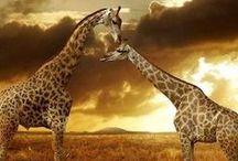 Animals - Giraffes & Okapis / by Britta