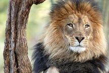 Animals - Lions / by Britta