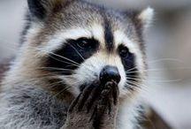 ▷ raccoons ◁