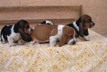 Basset hounds / by Phil Hauschild