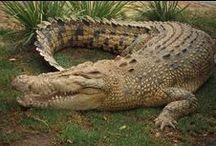 Crocodiles/Alligators