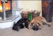 My dogs / Bullmastiff