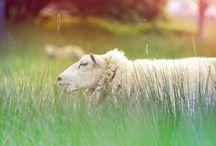 Sheep & ... / by Love