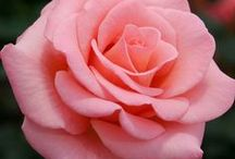 Our Favorite Roses / The cream of the crop from THE name in Roses.