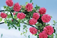 Vines & Climbers / Clematis, Climbing Roses, and other beautiful plants to bring some vertical color to your garden.