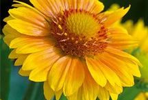 Sun Perennials / Bright and sunny flowers that are sure to make you smile!