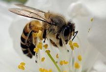Symbiotic Bee / The world's most important pollinator