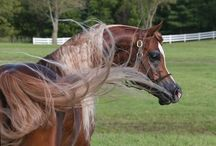 """Arabians / """"The winds of the heavens is that which blows between a horses ears"""" - Arabian Proverb"""