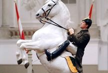 Spanish Horses / Lipizzaners, Andalusians, PREs and alike.