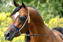 Horses <3 / My favourite horses are ARABIAN HORSES! <3