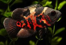 Tropicals / Freshwater tropical fish / by Ron Hamm