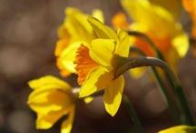 Daffodils On Our Farm