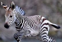 Zebras / I suddenly decided that Zebras should have their own board! :)