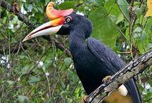 BIRD GRAPESDA KALIMANTAN / Seputar dunia unggas Kalimantan
