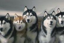 Husky Siberiano / amo demais demais essa raça...