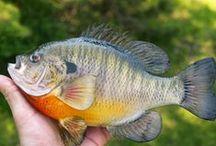 Other Fish Species