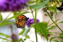 Pelee Island Monarch Butterflies