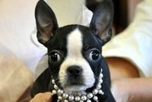we love boston terriers