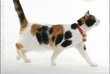 Calico cats / Trikolorki, a każda inna!