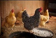 Chickens Höns Ducks Orpingtons / #kycklingar #farming #självhushåll