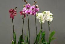 Idées cadeaux Saint Valentin / Des orchidées, des rosiers, des plantes originales, ... pour surprendre à coup sûr !