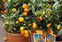 Les Agrumes classiques / Embellissez votre veranda ou votre terrasse avec des agrumes classiques (citronniers, mandariniers, ...). Profitez également de leurs parfums exceptionnels !