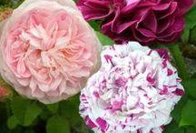 Rosiers anciens / Embellissez votre jardin avec ces rosiers en forme anciennes très vigoureux