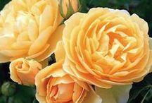 Rosiers à grandes fleurs / Construisez votre propre jardin d'Eden avec ces rosiers à grandes fleurs