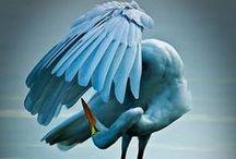 Herons, egrets and cranes