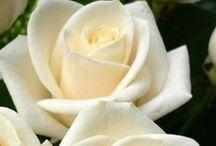 ~Rose~ / Nei giardini di versailles, fioriscon le più belle rose, ammiccanti e vanitose son fatte per farsi guardar. Ma la dove pochi sanno andare, giaccion quelle più preziose, quelle che al solo sbocciar, attorno a loro cambian tutte cose.