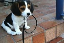 beagles I want