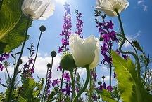 Flowers | Colorado Alpines & Wildflower Farm / These flowers simply make us smile.             www.thewildflowerfarm.com
