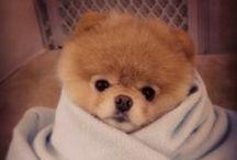 Boo ♥ / Le chien le plus mignon du monde qui a plus de facebooke-like que François Hollande. *pouf de rire*
