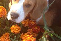 Beagl puppy ❤️ / Beagel ❤️