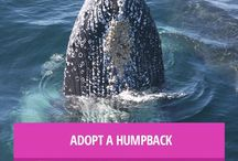 Humpback Whale / by Free Cetaceans in Captivity! They Need Your Voice!