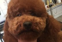 Barboni / Barboncini a Fashion dog