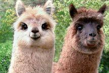Alpaca <3 / I just ... Just love them.