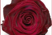 Red rose types