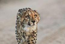 ♠ cheetahs ♠