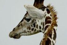 ♠ giraffes ♠